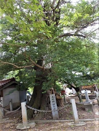 ムクノキ外伝、県内一の天然記念物_e0175370_21201756.jpg