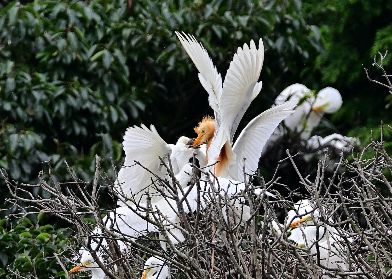 アマサギ:幼鳥のコロニー ③_e0362696_17430268.jpg