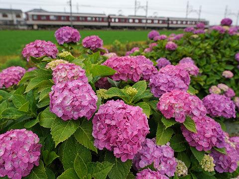 紫陽花の頃_c0152411_13300512.jpg