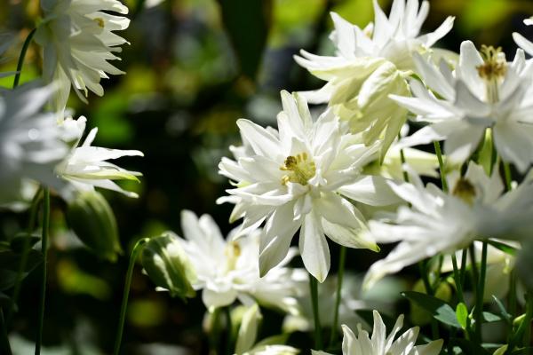 クレメンタイン ホワイト 庭の行方_d0380314_18563020.jpg