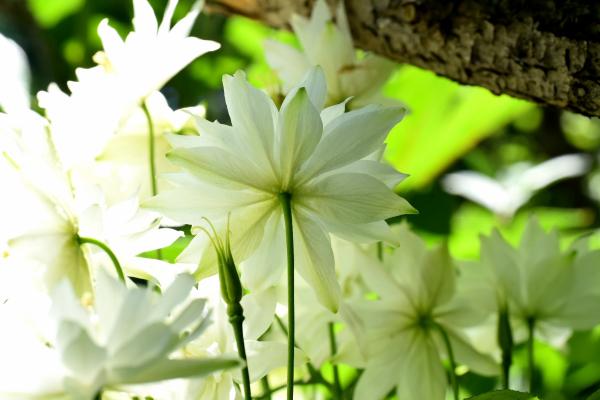 クレメンタイン ホワイト 庭の行方_d0380314_18563551.jpg