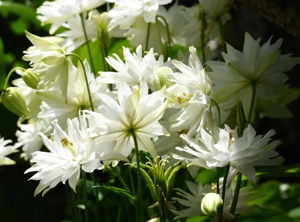 クレメンタイン ホワイト 庭の行方_d0380314_18563726.jpg