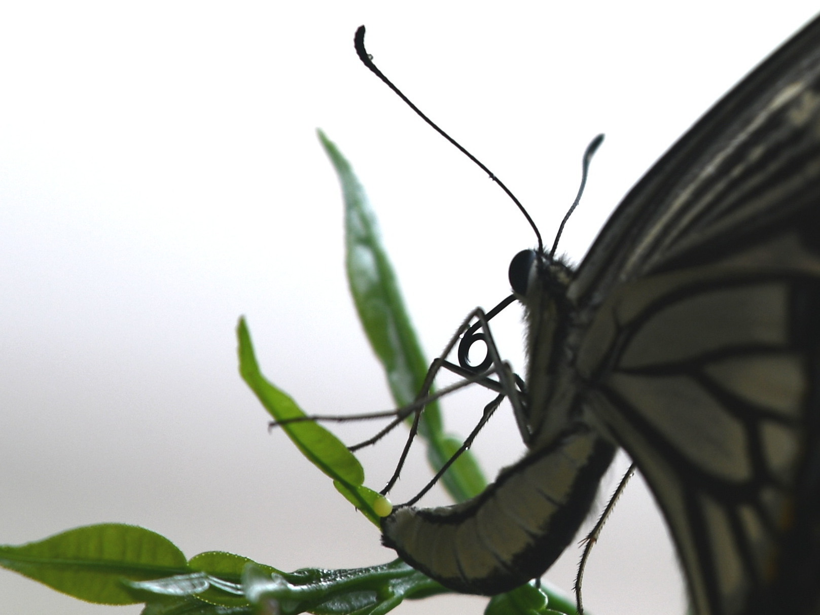 2020年7月下旬 埼玉県北部 拙宅の蝶たち_c0353632_15034907.jpg