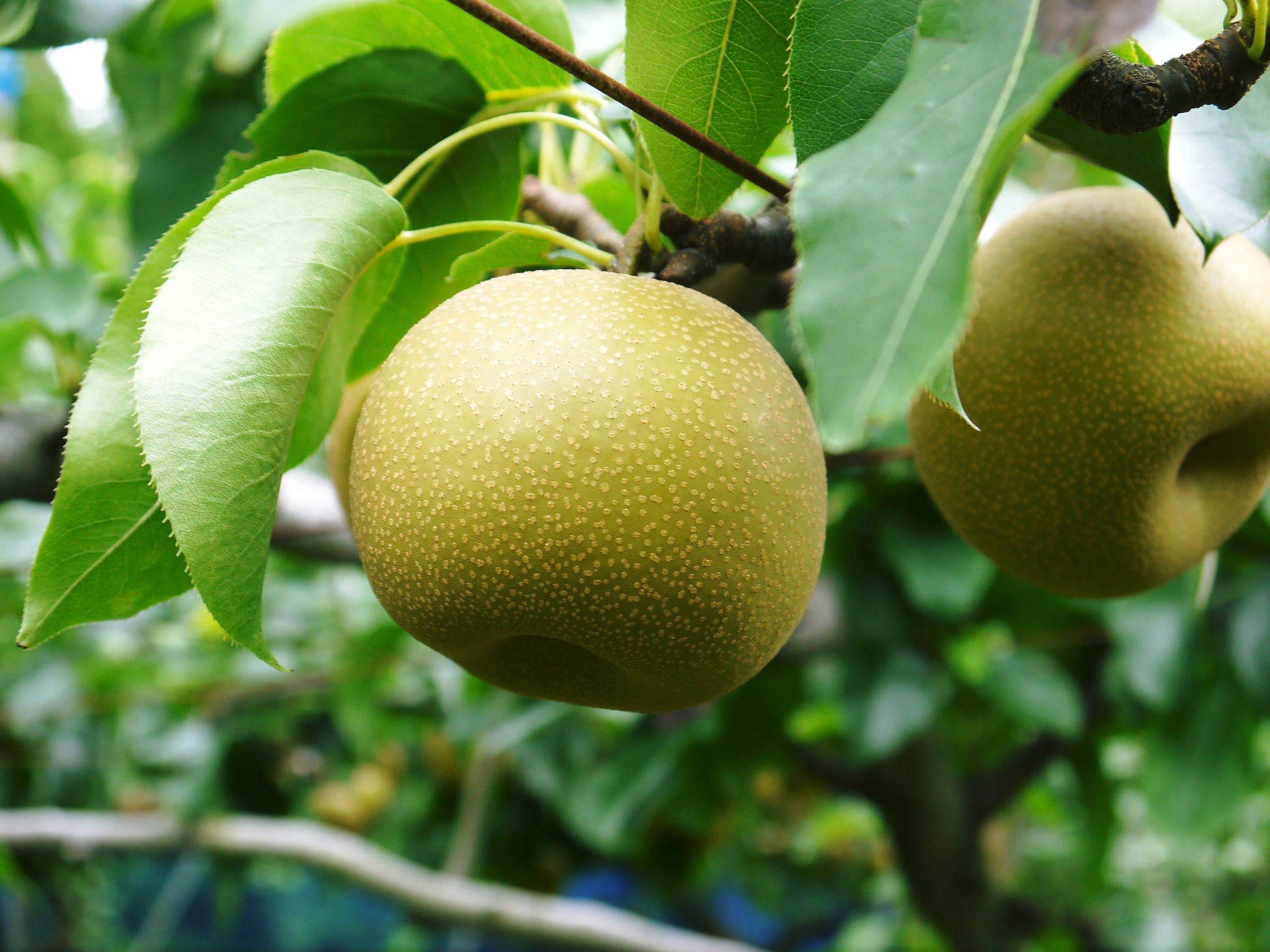 熊本梨「幸水」先行予約受付中!岩永農園さんは今年も無袋栽培&樹上完熟にこだわり出荷します!(後編)_a0254656_16520987.jpg