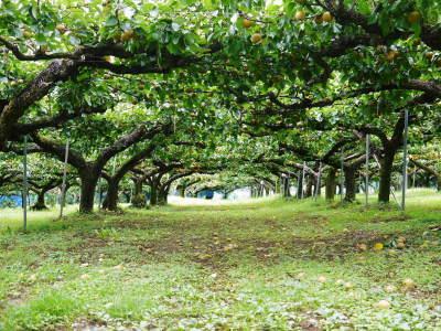 熊本梨「幸水」先行予約受付中!岩永農園さんは今年も無袋栽培&樹上完熟にこだわり出荷します!(後編)_a0254656_17124941.jpg