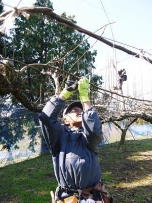 熊本梨「幸水」先行予約受付中!岩永農園さんは今年も無袋栽培&樹上完熟にこだわり出荷します!(後編)_a0254656_17164580.jpg