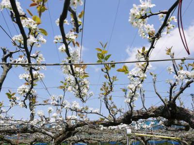 熊本梨「幸水」先行予約受付中!岩永農園さんは今年も無袋栽培&樹上完熟にこだわり出荷します!(後編)_a0254656_17211139.jpg