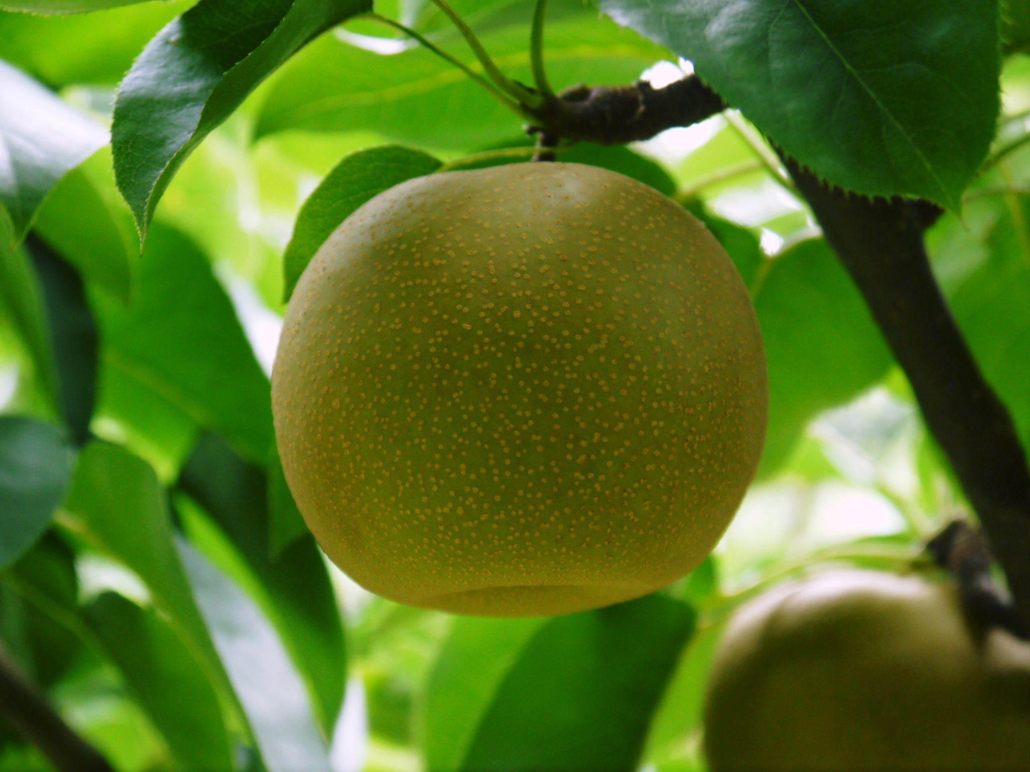 熊本梨「幸水」先行予約受付中!岩永農園さんは今年も無袋栽培&樹上完熟にこだわり出荷します!(後編)_a0254656_17273654.jpg