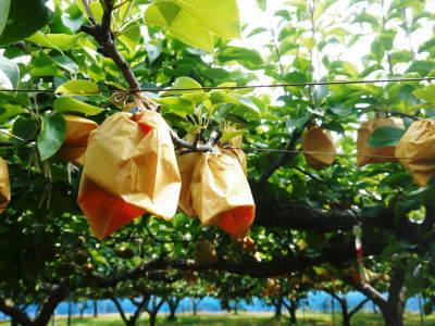 熊本梨「幸水」先行予約受付中!岩永農園さんは今年も無袋栽培&樹上完熟にこだわり出荷します!(後編)_a0254656_17323459.jpg