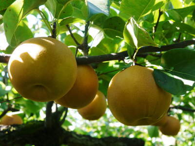 熊本梨「幸水」先行予約受付中!岩永農園さんは今年も無袋栽培&樹上完熟にこだわり出荷します!(後編)_a0254656_17491892.jpg