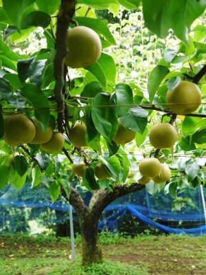 熊本梨「幸水」先行予約受付中!岩永農園さんは今年も無袋栽培&樹上完熟にこだわり出荷します!(後編)_a0254656_18033933.jpg