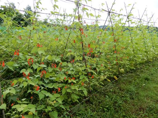自然農の畑 7月中旬~下旬_d0366590_19031604.jpg