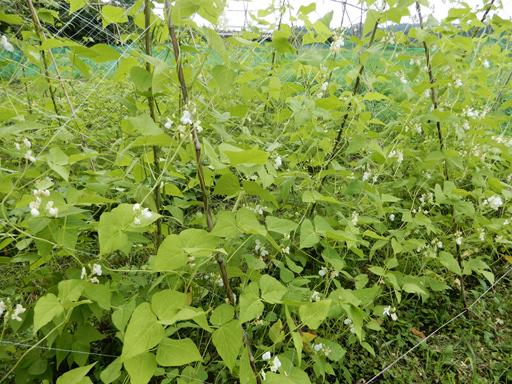 自然農の畑 7月中旬~下旬_d0366590_19305928.jpg