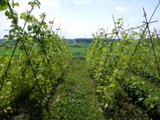 自然農の畑 7月中旬~下旬_d0366590_19331448.jpg
