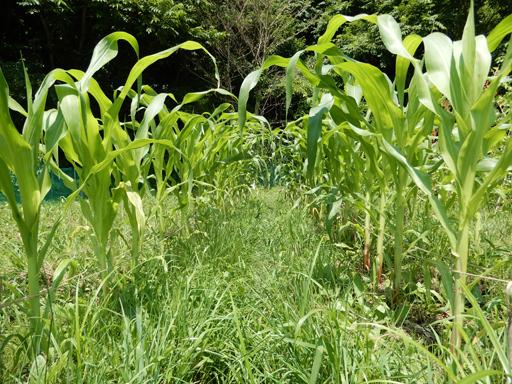 自然農の畑 7月中旬~下旬_d0366590_19533245.jpg