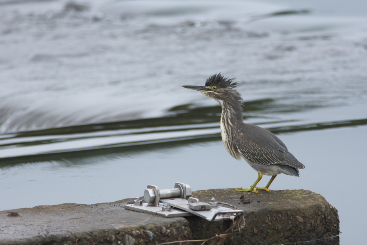 水辺の鳥 ササゴイとホシゴイ_e0261593_07561166.jpg