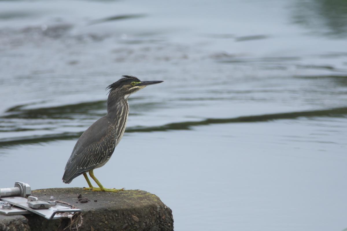 水辺の鳥 ササゴイとホシゴイ_e0261593_07562031.jpg