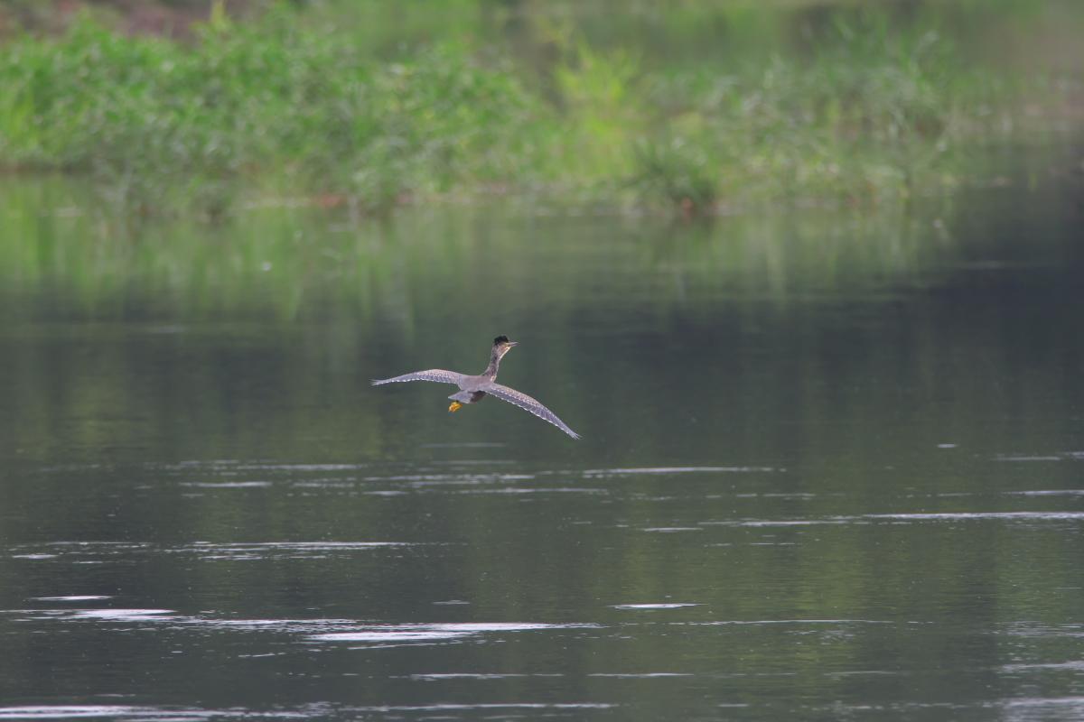 水辺の鳥 ササゴイとホシゴイ_e0261593_07563479.jpg