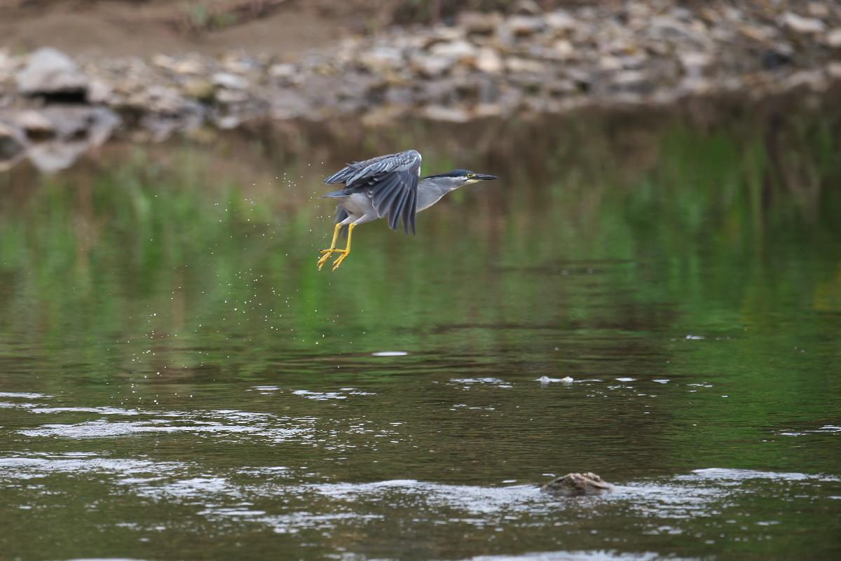 水辺の鳥 ササゴイとホシゴイ_e0261593_07575446.jpg