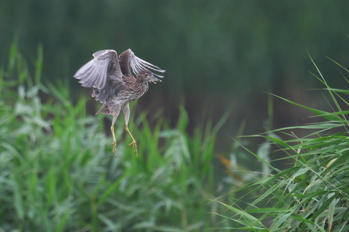 水辺の鳥 ササゴイとホシゴイ_e0261593_07592687.jpg