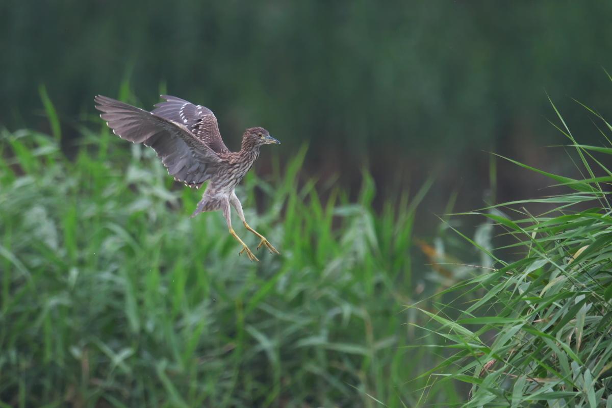 水辺の鳥 ササゴイとホシゴイ_e0261593_07593698.jpg