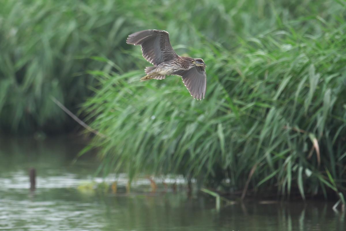 水辺の鳥 ササゴイとホシゴイ_e0261593_07595277.jpg