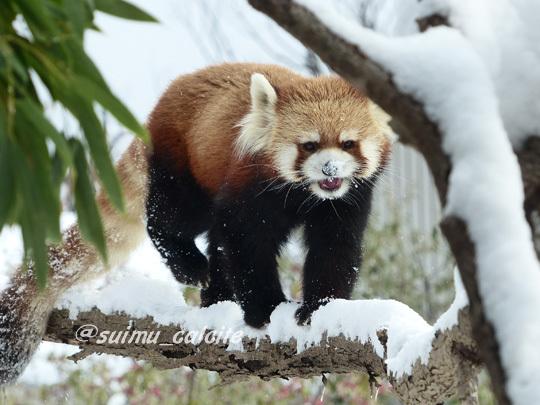 レッサーパンダ ギンちゃんを想う_d0154140_17201751.jpg