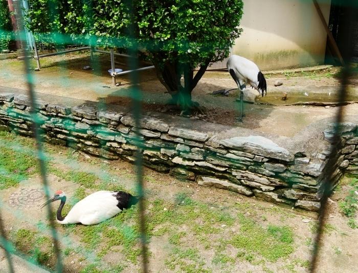 お城の動物園・タンチョウ  2020-07-28 00:00_b0093754_22204063.jpg