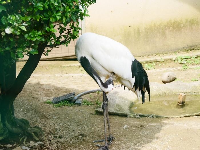 お城の動物園・タンチョウ  2020-07-28 00:00_b0093754_22220683.jpg