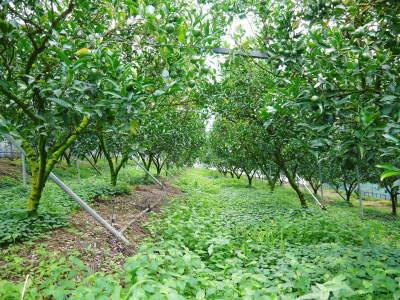 究極の柑橘『せとか』 令和2年度の収穫に向け今年も順調に成長中!着果後の様子を現地取材_a0254656_17095336.jpg