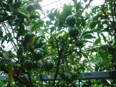 究極の柑橘『せとか』 令和2年度の収穫に向け今年も順調に成長中!着果後の様子を現地取材_a0254656_17143154.jpg
