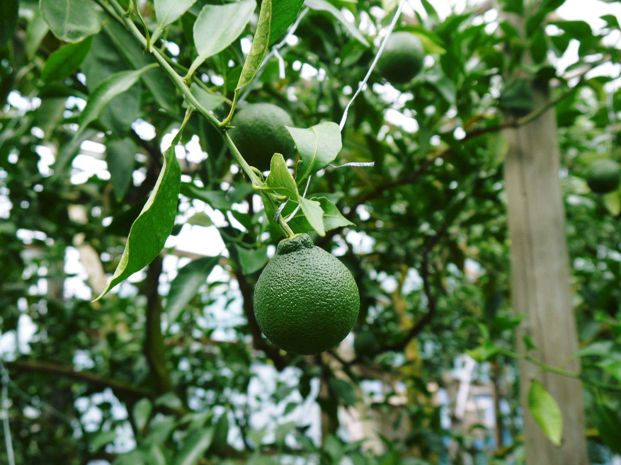 究極の柑橘『せとか』 令和2年度の収穫に向け今年も順調に成長中!着果後の様子を現地取材_a0254656_17275465.jpg
