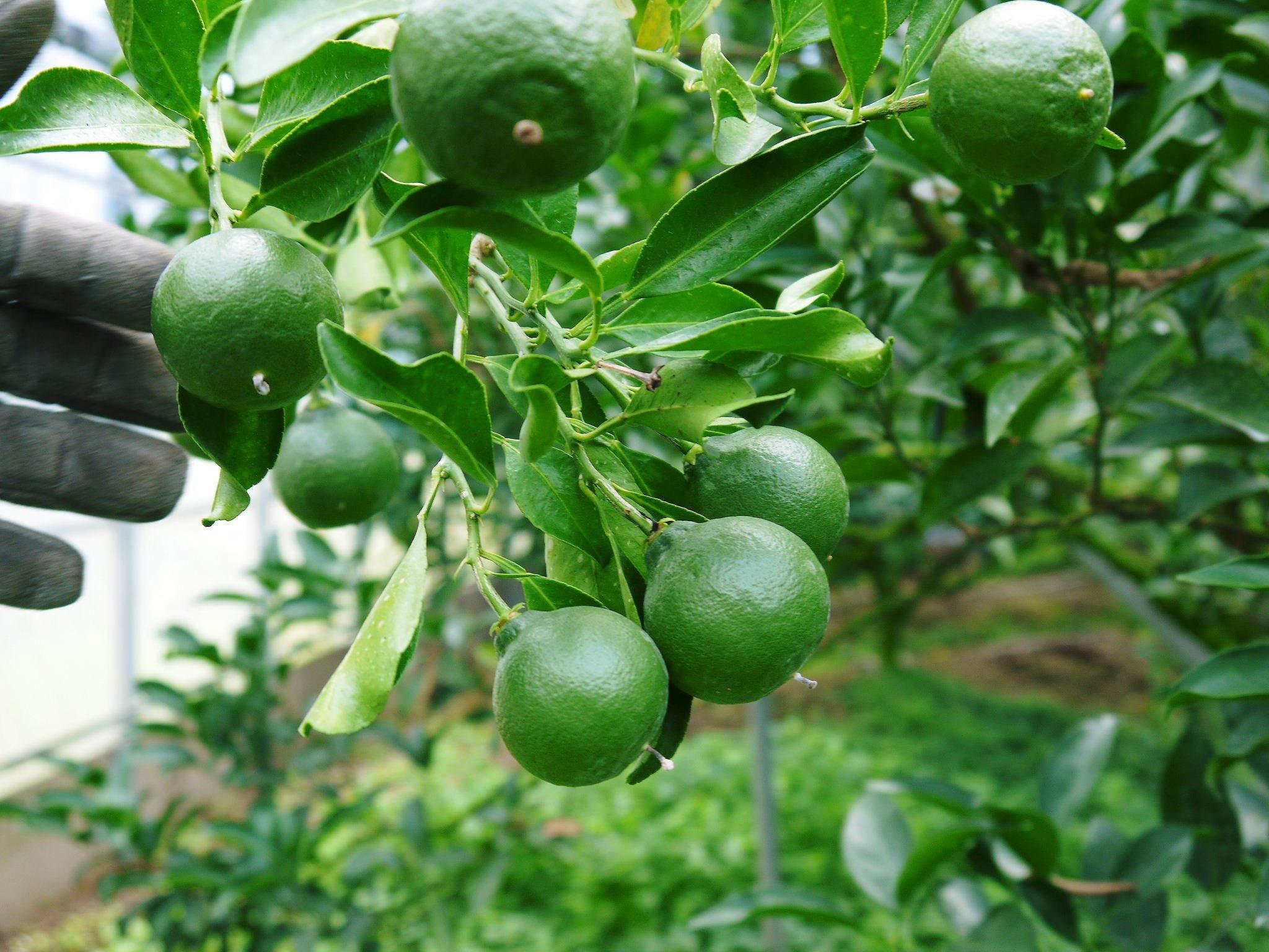 究極の柑橘『せとか』 令和2年度の収穫に向け今年も順調に成長中!着果後の様子を現地取材_a0254656_17303799.jpg