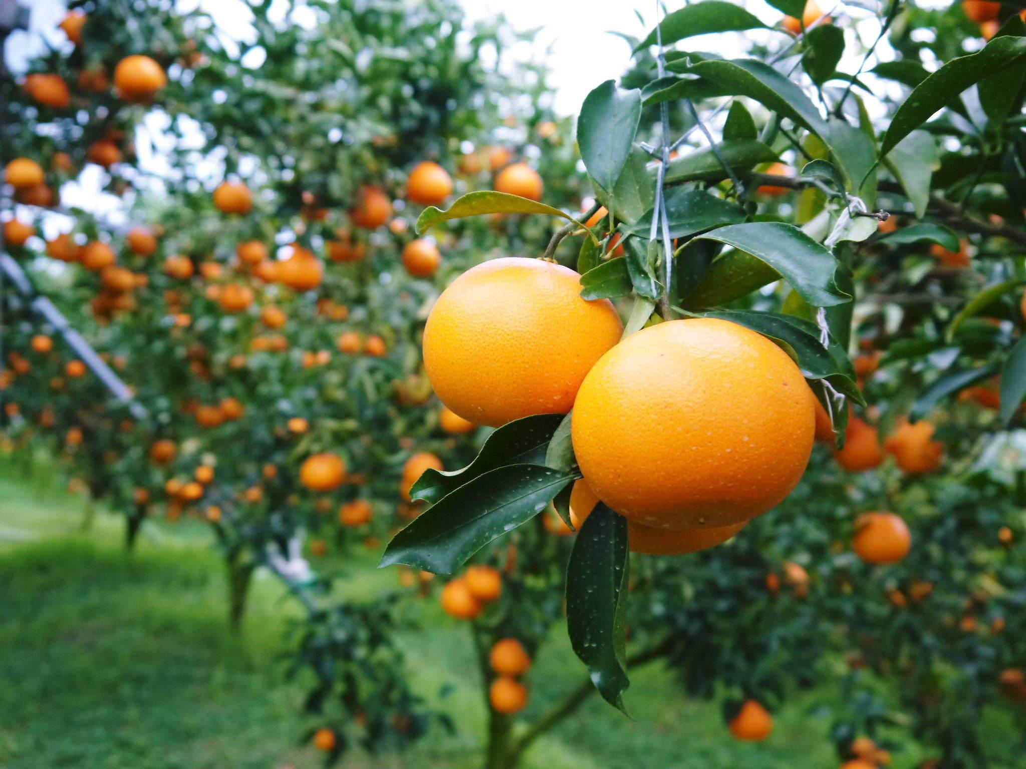 究極の柑橘『せとか』 令和2年度の収穫に向け今年も順調に成長中!着果後の様子を現地取材_a0254656_17341588.jpg