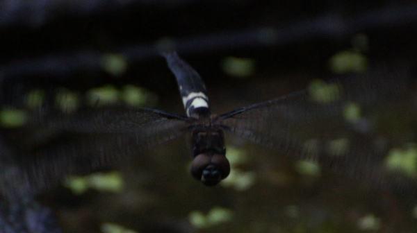 コシアキトンボ雌の白班!_a0268377_19365905.jpg