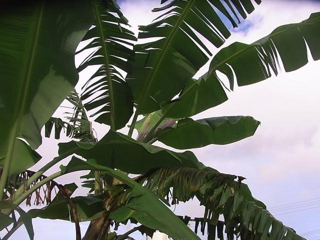 バナナの成長_e0158687_22000607.jpg