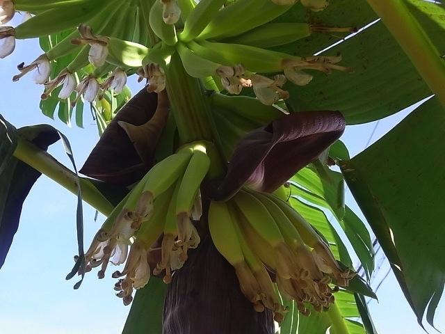 バナナの成長_e0158687_22023026.jpg