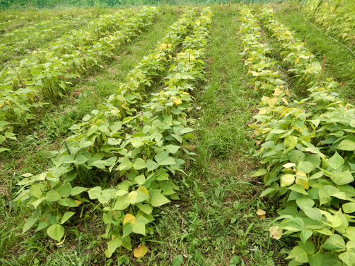 自然農の畑 7月中旬~下旬_d0366590_06584161.jpg