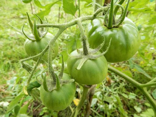 自然農の畑 7月中旬~下旬_d0366590_07162968.jpg