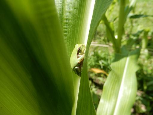 自然農の畑 7月中旬~下旬_d0366590_07465692.jpg