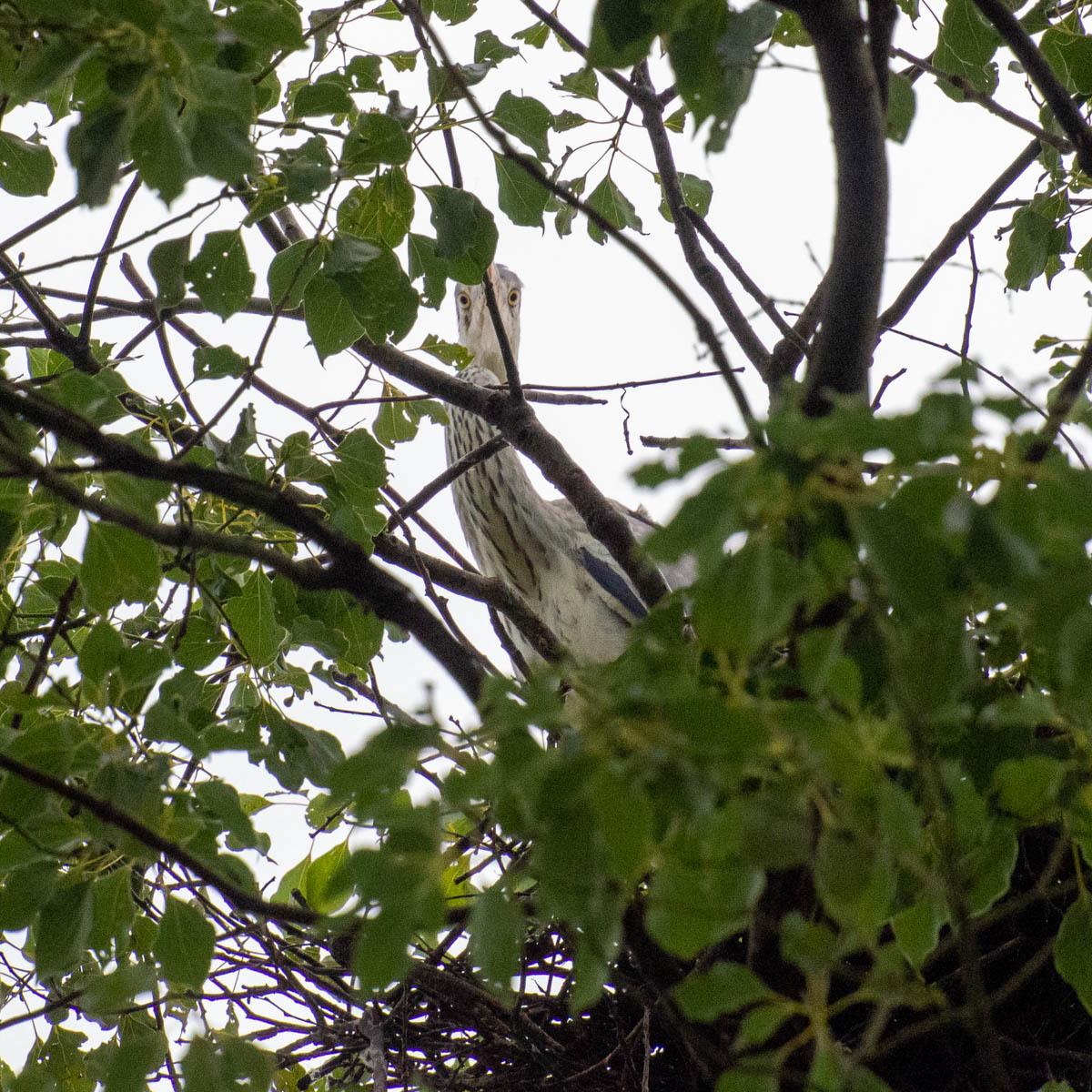 アオサギ コロニー  (アオサギ )  2020/07/25_d0146592_00403229.jpg