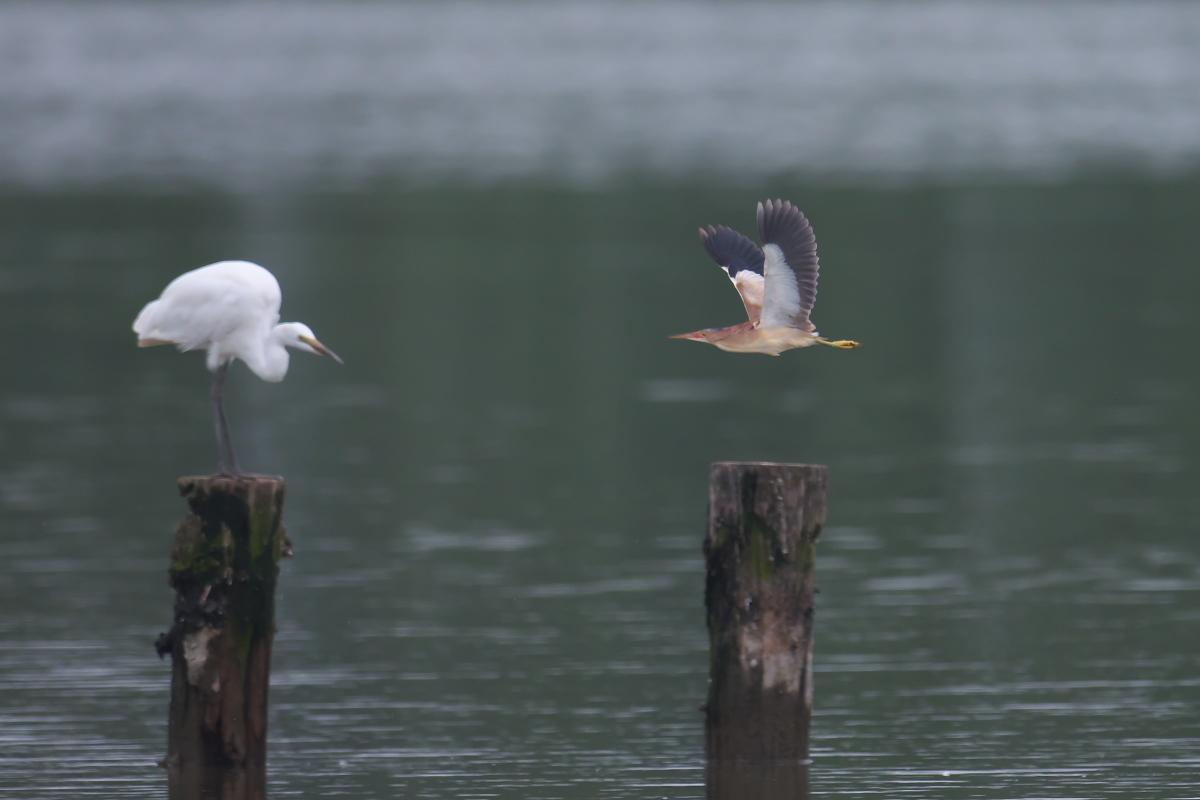 水辺の鳥 ヨシゴイ_e0261593_12554975.jpg