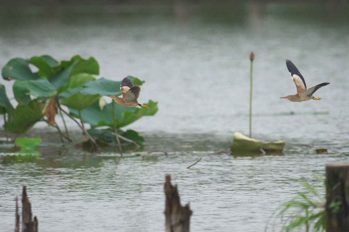 水辺の鳥 ヨシゴイ_e0261593_12555867.jpg