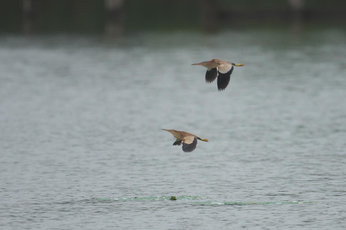 水辺の鳥 ヨシゴイ_e0261593_12560441.jpg