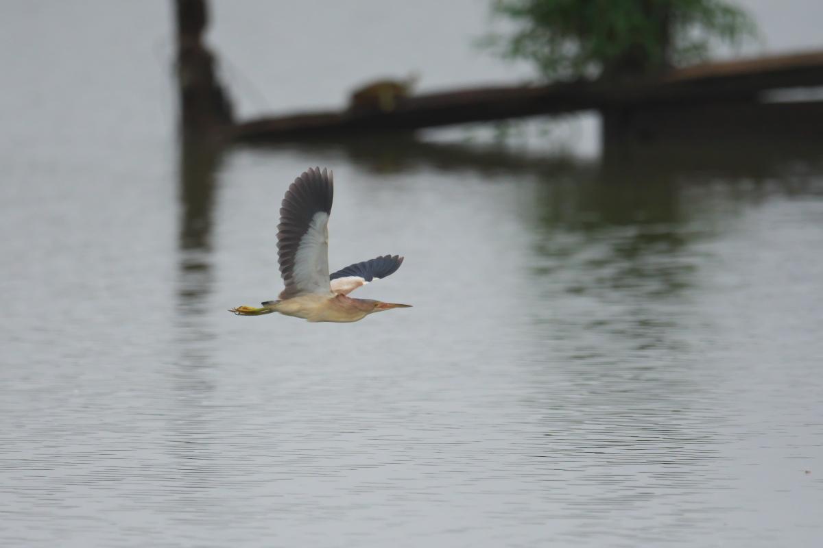 水辺の鳥 ヨシゴイ_e0261593_12561018.jpg