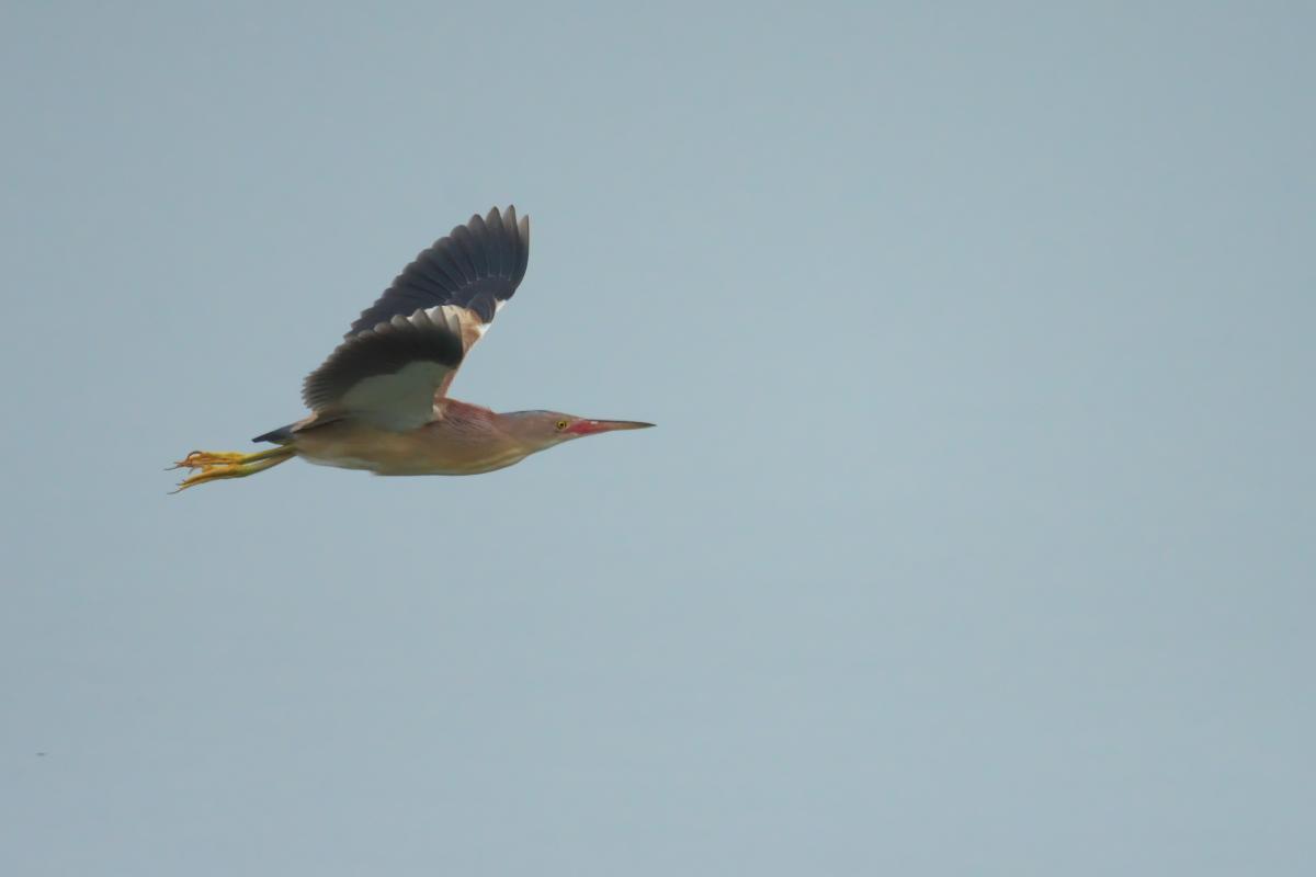 水辺の鳥 ヨシゴイ_e0261593_12562404.jpg