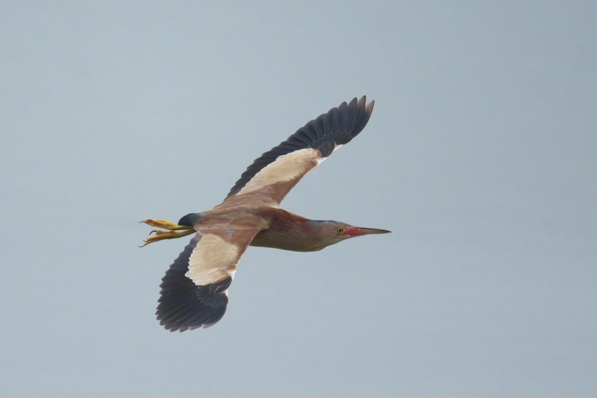 水辺の鳥 ヨシゴイ_e0261593_12564233.jpg