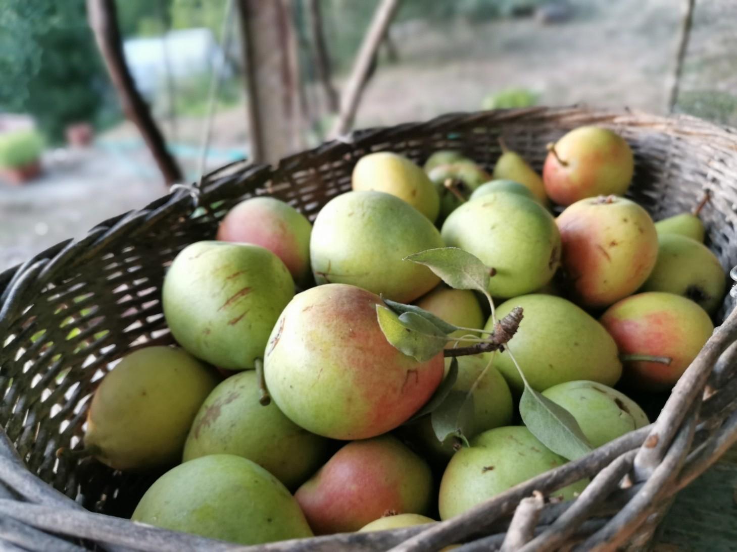 森へ梨の収穫に行きました_f0106597_18054024.jpg