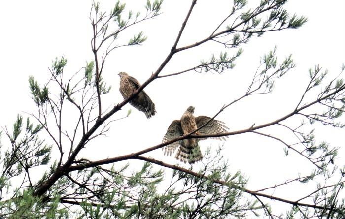 大宮公園 野鳥 オオタカの幼鳥_d0150720_10533166.jpg