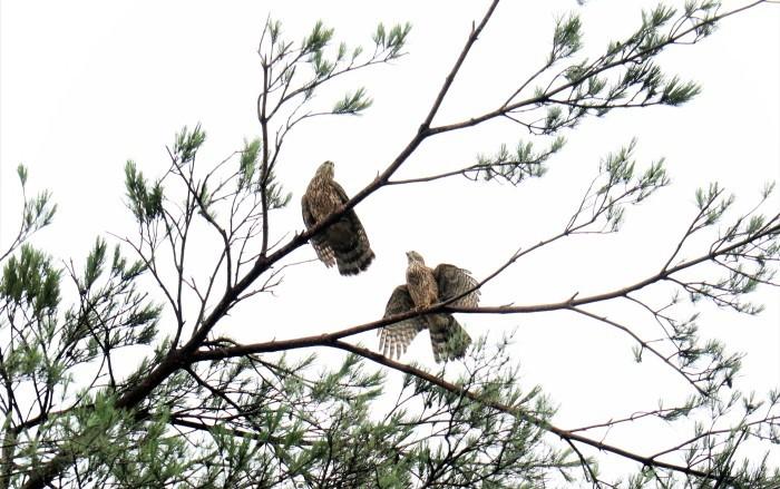 大宮公園 野鳥 オオタカの幼鳥_d0150720_10534994.jpg